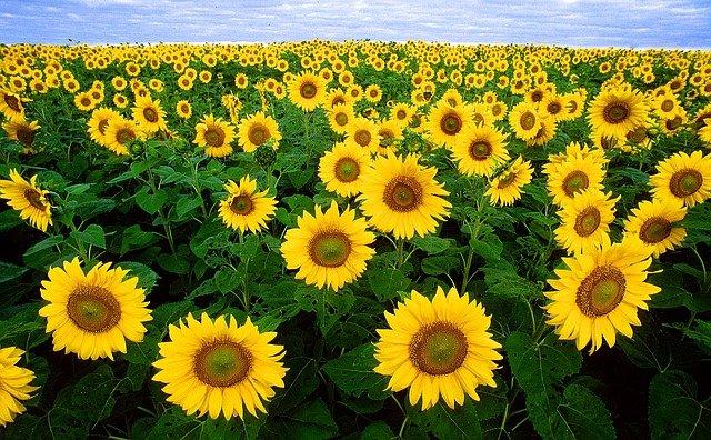 Slunečnice nejen krásná, ale i zdravá